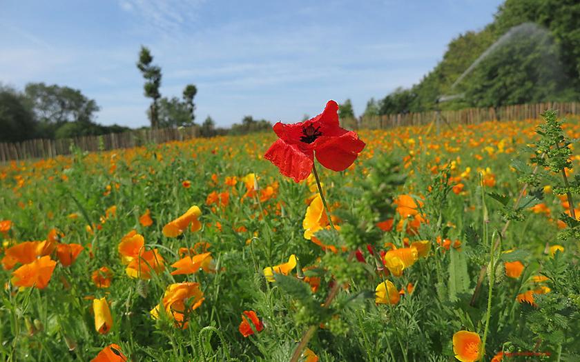 Blumenwiese am Kap Hoorn Norderney