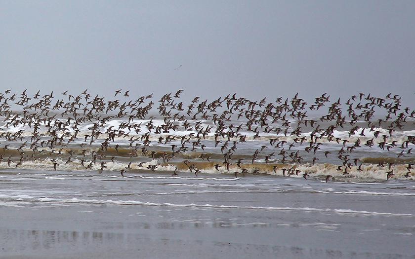 Scharmflug am Meer