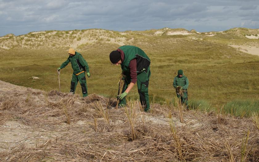 Strandhafer wird auf eine Düne gepflanzt