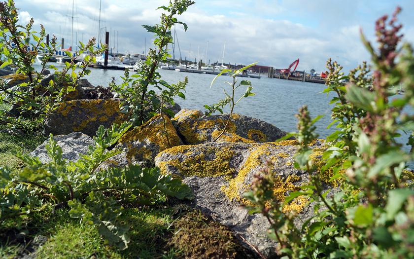 Steine mit Moos am Hafen von Norderney